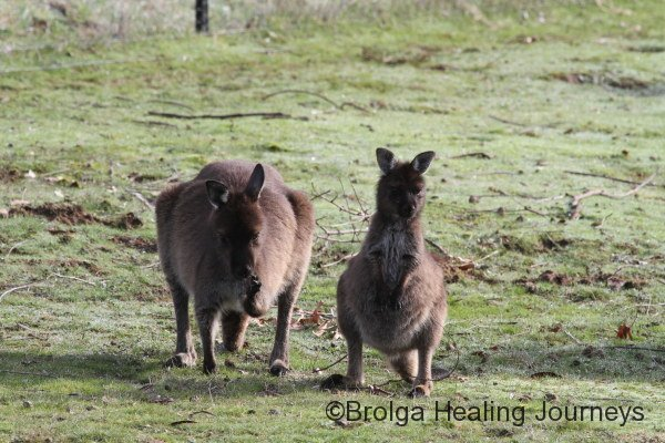 A female Kangaroo and her joey near the studio.