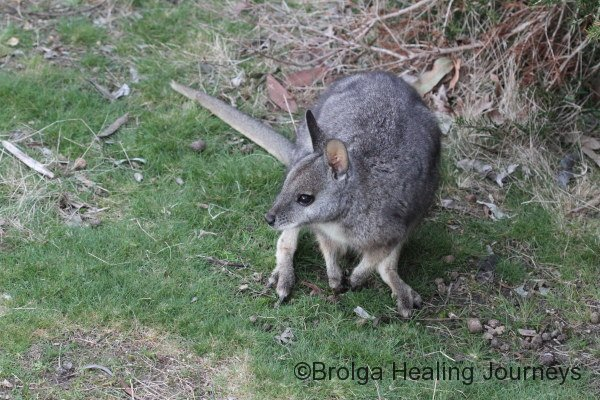 Tammar Wallaby near the studio, at dusk.
