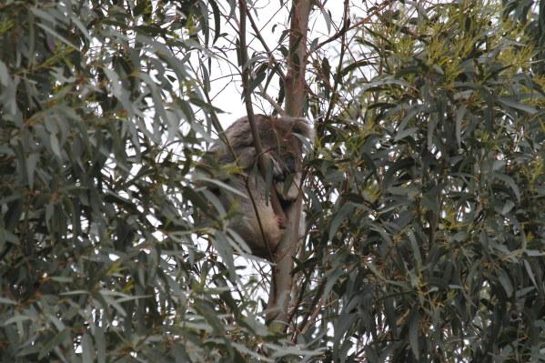 Koala sleeps high up in the Blue Gums.