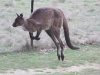 One of our local Kangaroos bounds past the studio.