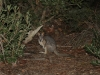 A Tammar Wallaby emerges from the scrub, early evening.