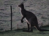 A large adult male kangaroo contemplates the leap over the fence.