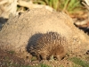 An Echidna at a termite mound - it's time for a feast.
