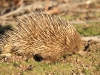 Close-up of Echidna, late afternoon.