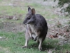 Another shot of the Wallaby.