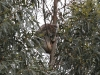 Koala sleeps high up in the Blue Gums.