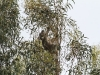 Heart in mouth (for us); a Koala feeds high up in the trees.