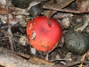 A member of the Russula genus I think.