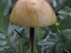 Gold-top mushroom. This may be the famous mind-altering species.