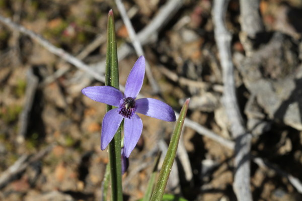 Blue Fairies orchid (Cyanicula deformis) - the only one we've seen so far.
