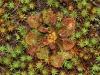 Sundew and moss.