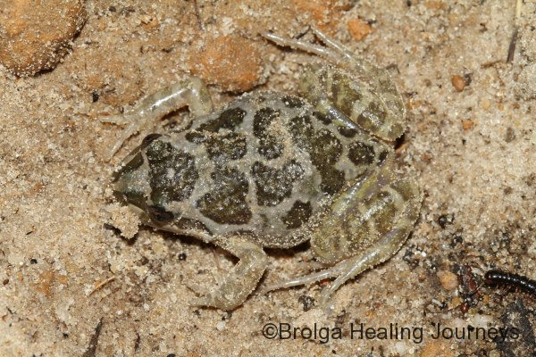 A tiny Common Froglet - a boring name for a very cute frog.