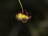 A Climbing Sundew (Drosera macrantha) holds onto a raindrop.