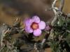 Another Rosy Baeckea (Baeckea ramosissima) I think.