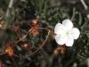 A Climbing Sundew (Drosera macrantha) in flower.
