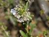 A Fanflower (Scaevola sp.)