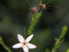 One of the Fringe-Myrtles (Calytrix sp.)
