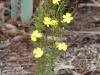 Twiggy Guinea-flower (Hibbertia virgata)