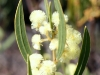 The Myrtle-Leaved Wattle (Acacia myrtifolia), common to our property.