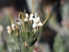 Another photo of the Silver Bush (Adenanthos terminalis) in flower