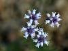 Slender Smokebush (Conospermum patens).