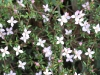 The beautiful Island Boronia (Boronia edwardsii)