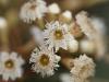 Eucalypt blossum