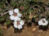 Desert Baeckea (Baechea crassifolia) I think