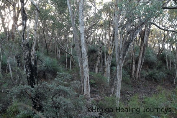 Stringy Barks lining the creek in the heritage bushland.