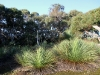Grass Trees and eucalypts in the beautiful bush at the bottom of our main paddock.