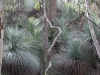 Grass trees and eucalypts
