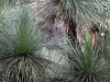 A stand of Grass Trees (Xanthorrhoea)