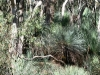 Grass Trees and Sugar Gums in our heritage bushland