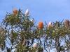 Acorn Banksia, Kalbarri National Park