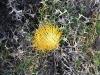 Showy Dryandra, Geraldton region