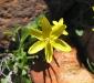 Drooping Leek Lily (I think).  Kalbarri Ntl Pk