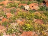 Assorted flowers in Kalbarri Ntl Pk