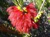 Murchison Clawflower, Kalbarri Ntl Pk