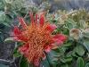 Murchison Rose, Kalbarri Ntl Pk