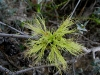 Green Melaleuca, Geraldton region