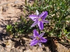 Fringed Lily, Geraldton district