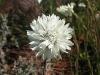 White Pom Pom Everlasting, Kalbarri Ntl Pk