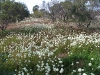 Field of White Pom Pom Everlastings, Kalbarri district