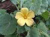 Sticky Lantern Flower, Pilbara