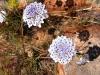 Pilbara Lace Flower, Burringurrah Ntl Pk (Mt Augustus)