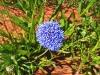 Native Cornflower, Murchison region WA