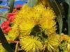 Mallee flowers, uncertain of species. Perth region