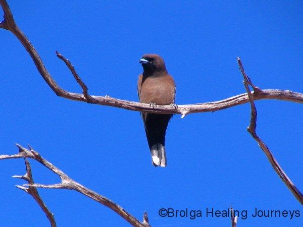 Little Woodswallow, Kalbarri Ntl Pk, WA