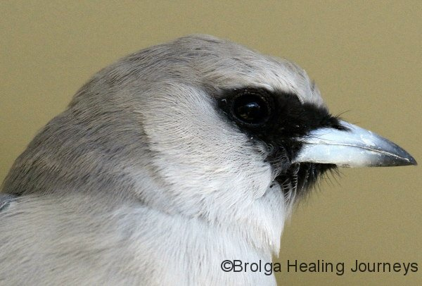 Black Faced Woodswallow, close-up
