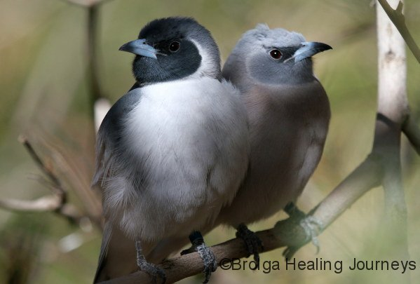 A pair of Masked Woodswallows, male wth darker face